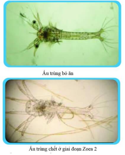 Ấu trùng bỏ ăn và chết ở giai đoạn Zoea 2