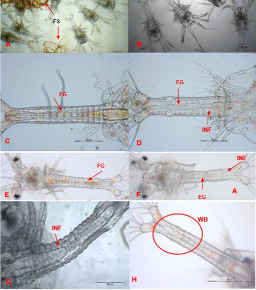 Hình A - Ấu trùng tôm thẻ phát triển bình thường có đường phân và đường ruột đầy đủHình B - Ấu trùng bị Zoea 2 có ruột rỗng, đường phân đứt khúcHình C và E - Ruột đầy và không dị hìnhHình D, F và G - Ấu trùng tôm giống bị nhiễm có ruột rỗng, bong tróc tế bào biểu mô
